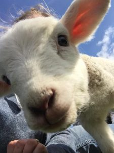 Sue Gibson_lamb selfie. Meet our nosey lamb Lottie!